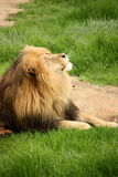 Sunbathing Lion Royalty Free Stock Image