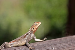 Sunbathing Lizard. A lizard warming itself ready for another busy day Royalty Free Stock Photography