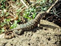 Sunbathing lizard Stock Photos