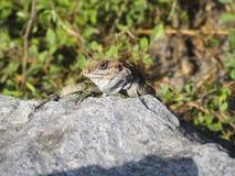 Sunbathing lizard Stock Image