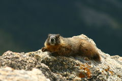 Sunbathing Marmot Royalty Free Stock Photography