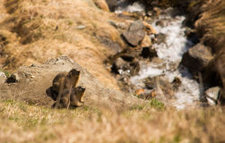 Sunbathing Marmots - Switzerland Stock Photos