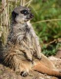 Meerkat Sunbathing. A sunbathing Meerkat looking out of the corner of its eye Stock Photography