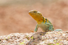 Sunbathing in Oklahoma. An eastern collared lizard sunning on rock in Oklahoma Royalty Free Stock Image