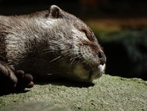 Sunbathing Otter Stock Photo