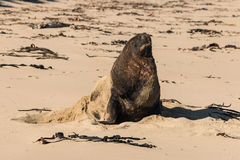 Sunbathing sea lion. Sunbathing male sea lion on sandy beach Royalty Free Stock Photography