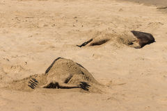 Sunbathing sea lions. Sunbathing male sea lions on sandy beach Royalty Free Stock Photos
