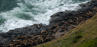Sunbathing Sea Lions. Sea Lions nap at the water`s edge on the Oregon coast stock photos