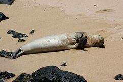 Sunbathing Seal. Seal sunbathing on the beach at Kauai, Hawaii (USA Royalty Free Stock Photos