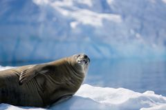 Sunbathing seal royalty free stock photos
