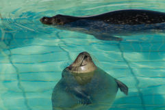 Sunbathing Seal Stock Photos