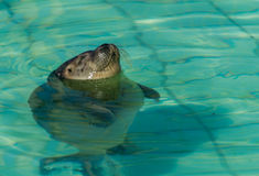 Sunbathing Seal Royalty Free Stock Images