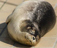 Sunbathing Seal Stock Photos
