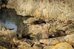 Sunbathing Seals Stock Photography
