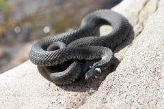 Sunbathing snake. Lies on the warm rocks in the sun Stock Photography