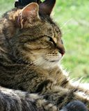 Sunbathing Tabby Cat on Porch Royalty Free Stock Photos