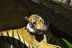Sunbathing Tiger Stock Photo