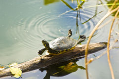 Sunbathing Turtle Stock Photo