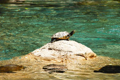 Sunbathing Turtle and friends Royalty Free Stock Image
