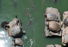 Sunbathing turtles Royalty Free Stock Photo