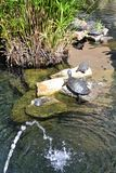 Sunbathing Turtles Royalty Free Stock Image