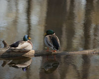 Sunbathingmallards Stock Photography