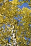 Sunbeam Aspen Stock Images