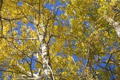 Sunbeam Aspen Stock Photos