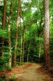 Sunbeam através da floresta Imagens de Stock Royalty Free