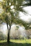 Sunbeam através de uma árvore Fotografia de Stock Royalty Free