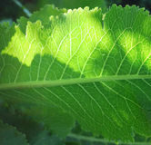 Sunbeam auf Blätter Stockfotos