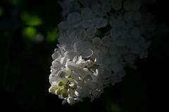 Sunbeam on a blossoming white lilac. Dark background and white flowers Royalty Free Stock Image