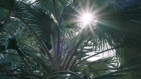 Sunbeam through the branches of a palm tree, lens flare. Slow motion stock video footage