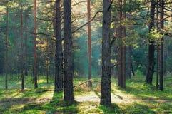 Sunbeam in coniferous forest Stock Photo