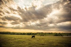 Sunbeam on a cow. Oklahoma field the Rays of light coming through the clouds Stock Photo