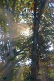 Sunbeam durch die Bäume Stockbilder