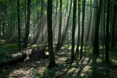 Sunbeam entering hornbeam deciduous forest Stock Images