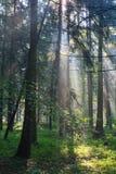 Sunbeam entering hornbeam deciduous forest. Sunbeam entering rich deciduous forest in misty morning rain after, Bialowieza Forest, Poland, Europe Stock Image