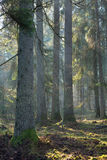 Sunbeam entering old coniferous stand Royalty Free Stock Photography