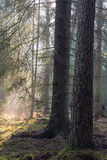 Sunbeam entering rich coniferous forest Royalty Free Stock Photo