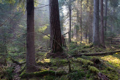 Sunbeam entering rich coniferous forest Royalty Free Stock Image