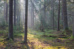 Sunbeam entering rich coniferous forest Stock Photo
