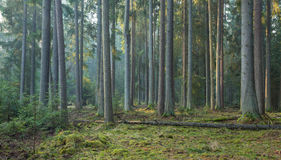Sunbeam entering rich coniferous forest Royalty Free Stock Images