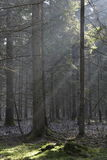 Sunbeam entering rich coniferous forest Stock Photography