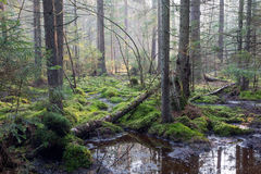 Sunbeam entering rich coniferous forest. Sunbeam entering swampy coniferous forest misty morning with old spruce and pine trees,Bialowieza Forest,Poland,Europe Stock Photo