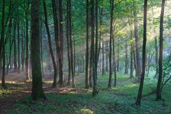 Sunbeam entering rich deciduous forest in misty evening. Rain after, Bialowieza forest, Poland, Europe Royalty Free Stock Image