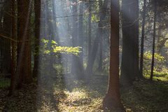 Sunbeam entering rich deciduous forest. Misty morning with old alder trees in foreground, Bialowieza Forest, Poland, Europe stock image