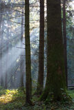 Sunbeam entering rich deciduous forest Royalty Free Stock Images