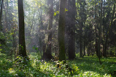 Sunbeam entering rich deciduous forest Royalty Free Stock Photos