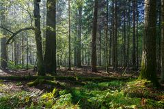 Sunbeam entering rich deciduous forest Royalty Free Stock Image